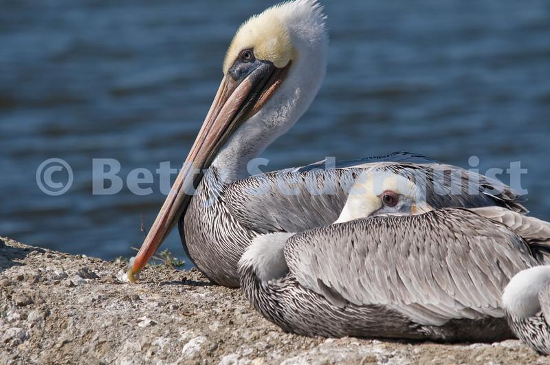Brown Pelicans, Elkhorn Slough