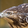 Juvenile Red Tailed Hawk