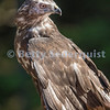 Captive Red Tailed Hawk