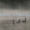Canada Geese in Morning Mists