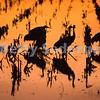Night Resting Sandhill Cranes