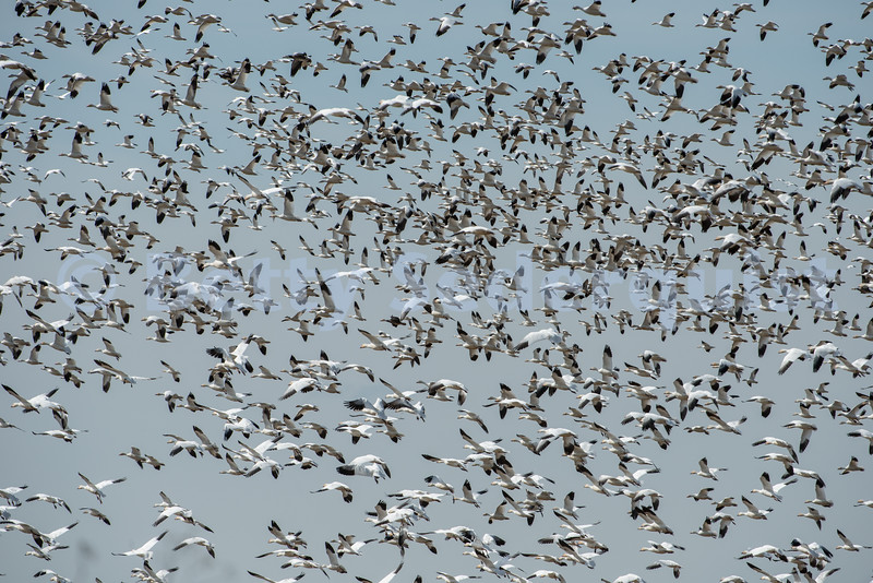 Hundreds of Snow Geese near Sacramento