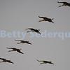 Sandhill Cranes, Formation Flying