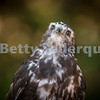 Red Tailed Hawk Looking at Sky