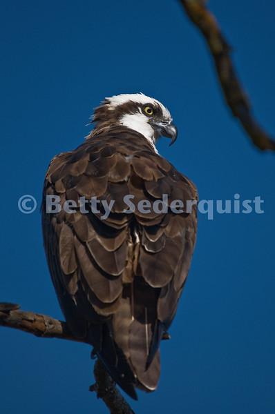 Osprey, Lake Natoma