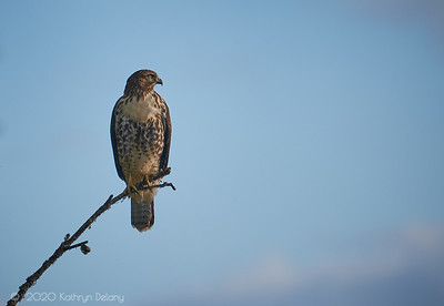 Red Tailed Hawk at the end of the day