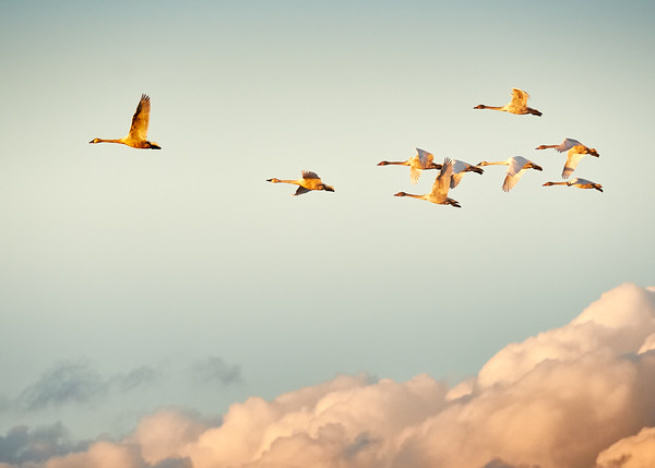 Tundra Swans at Sunset