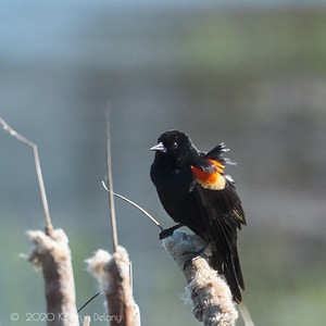 Red Winged Black Bird in the wind