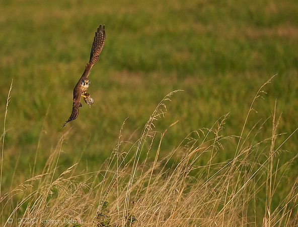 American Kestrel - fresh dinner