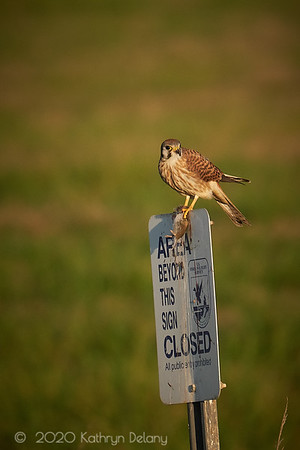 American Kestrel with dinner
