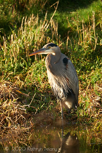 Great Blue Heron in the evening light