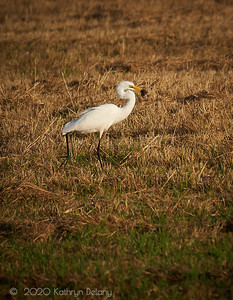 White Egret with Dinner