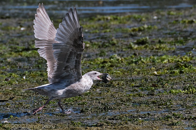 Gull and Clam