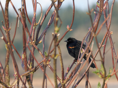 Red Winged Blackbird in spring