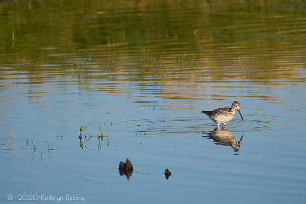 Greeater Yellowlegs wading
