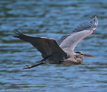 Great Blue Heron on the wing