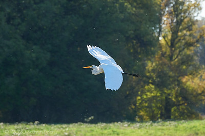 White Egret in Flight