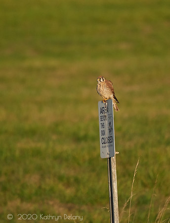 American Kestrel - looking for dinner
