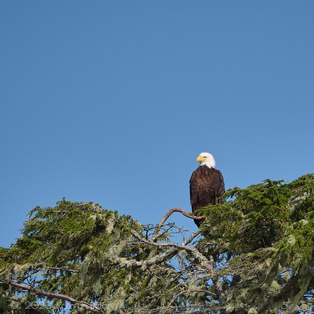 Bald eagle on high