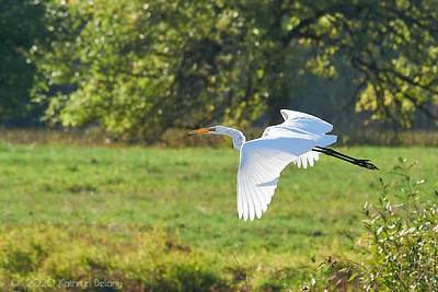 White egret in the sun