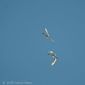 Two Trumpeter Swans on the wing