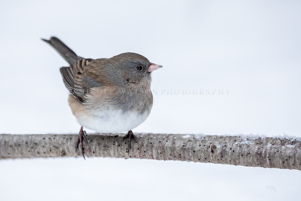 Dark Eyed Junco -5647