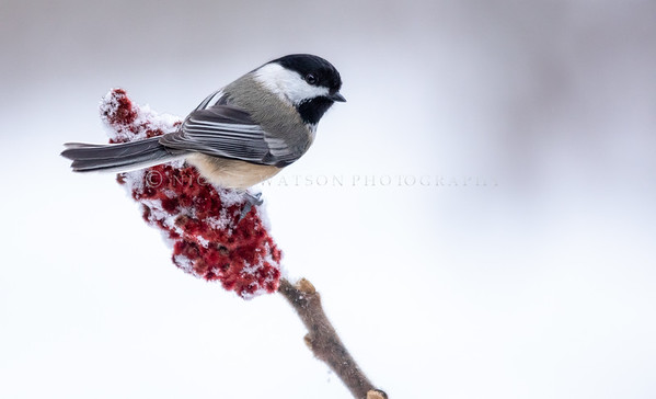 Black Capped Chickadee on Sumac