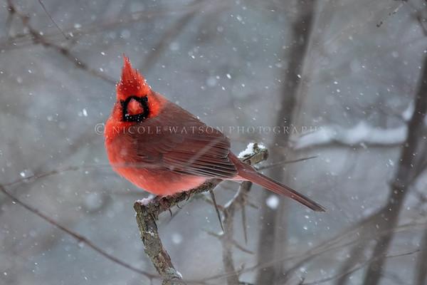 Northern Cardinal  -2609