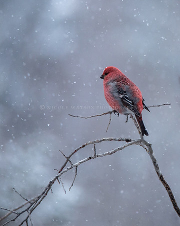Pine Grosbeak (male) on a snowy day