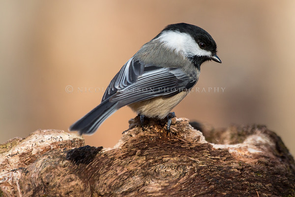 Black Capped Chickadee -2068