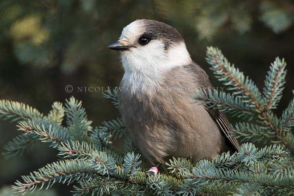 Gray Jay in a Spruce tree