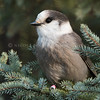 Gray Jay in a Spruce tree