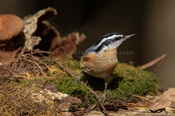 Red Breasted Nuthatch _3655