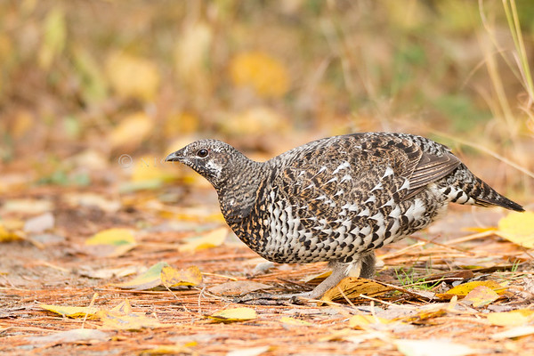 Spruce Grouse  (female)