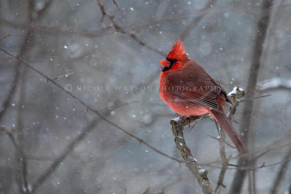 Northern Cardinal -2582