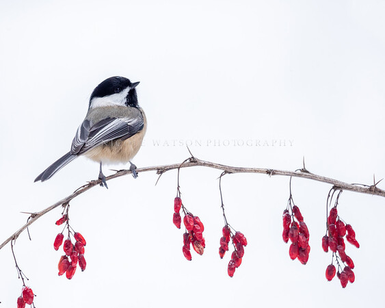 Black Capped Chickadee  on  red berries