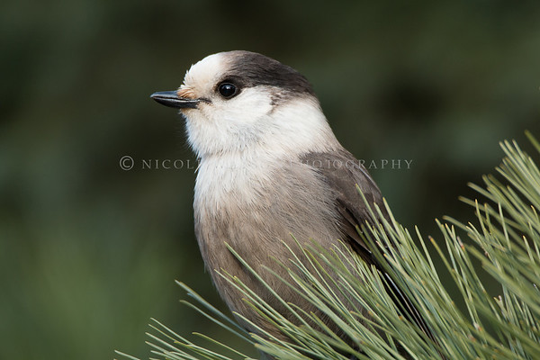 Gray Jay in the Pines