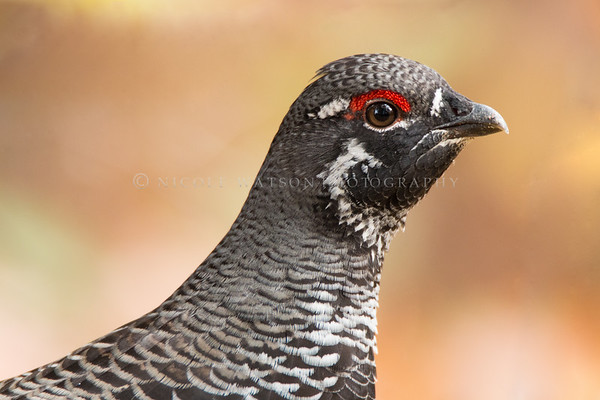 Spruce Grouse (male) -1