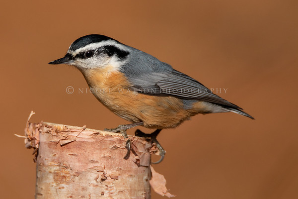 Red Breasted Nuthatch - 2901
