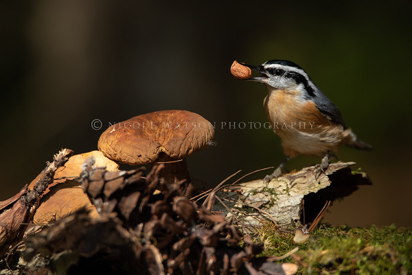 Red Breasted Nuthatch... with a Nut!