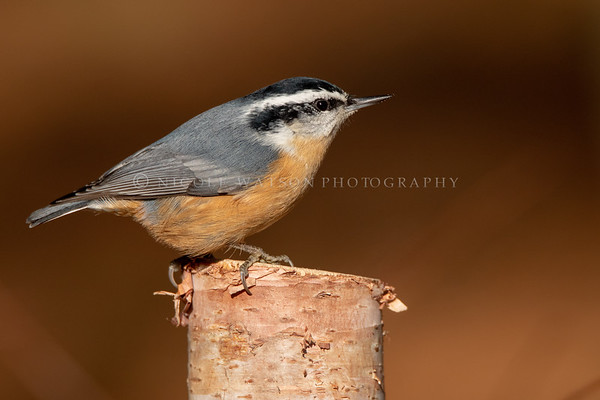 Red Breasted Nuthatch -3223