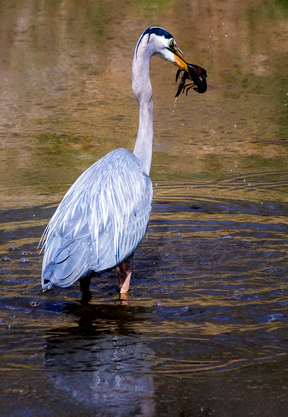 Blue Heron snags a crayfish in the C & O Canal in Potomac, Maryland