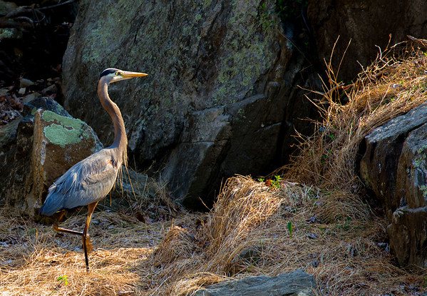 Blue Heron leaves the water for a walk on land.