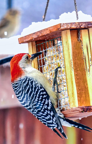 Red-Bellied Woodpecker clings to a snowy Suet Feeder.