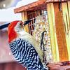 Red-Bellied Woodpecker clings to a snowy Suet Feeder.
