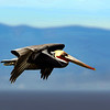 flying, flight, in flight, wings, bird, wild bird, pelican