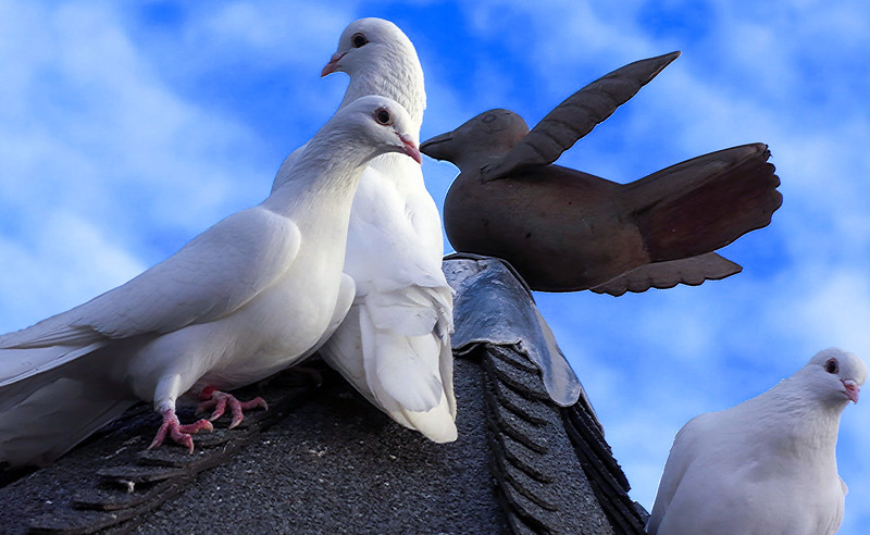 White doves on the roof of their dovecote.