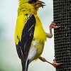 An American Goldfinch on the outside of a Njyer Feeder