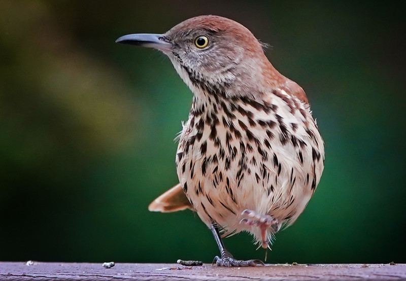 A plump Brown Thrasher looks around after landing on the deck