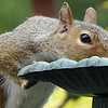 Squirrel jumps up onto the fountain for a sip of water.
